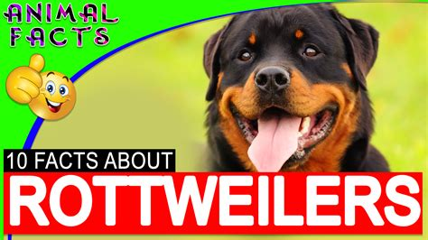 facts about rottweilers doberman pinscher dogs 101 interesting facts and information doberman animal