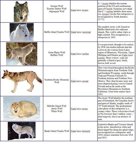 wolf breeds list different types of wolves list images