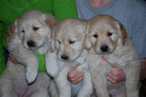 golden retriever puppies in mn golden retriever breeder east bethel mn dogs our friends