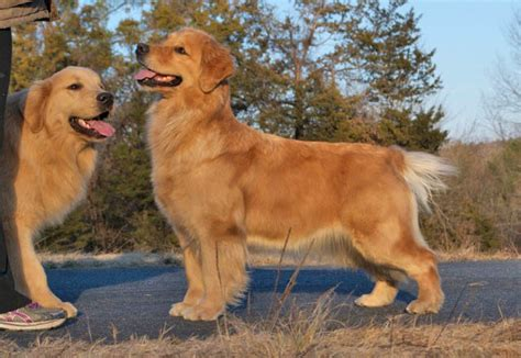 tangleloft golden retrievers tangleloft golden retrievers biss gch can ch lazydaze n at tangleloft sdhf od