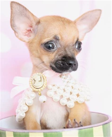 chihuahua puppies for sale florida 93 best images about puppies for sale on