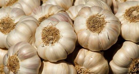 Bawang Putih Serbuk khasiat bawang putih untuk kesihatan encikshino