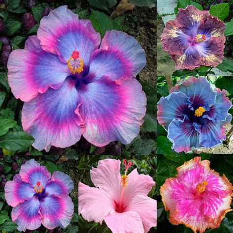 blue and purple hibiscus flower gardening giant hibiscus exotic coral flower 100 seeds mix