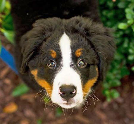 bernese mountain names 1925 best bouvier bernois images on bernese mountain dogs animals and