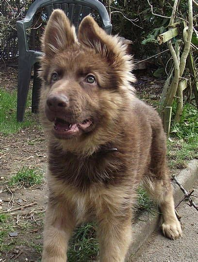brown german shepherd puppies 25 best ideas about german shepherd ears on shepherd puppies german
