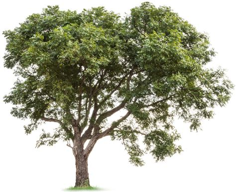picture of tree the history of the neem tree justneem