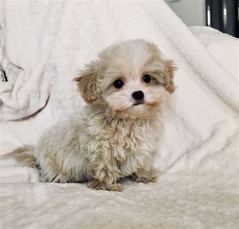 puppies for sale california teacup maltipoo puppy for sale los angeles california