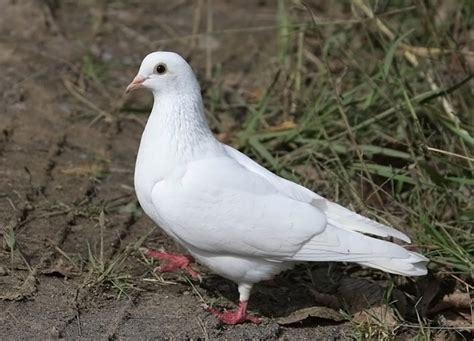 images of white pigeon www imgkid the image kid