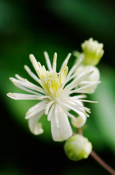 clematis fiore di bach bach flower essence clematis clematis vitalba
