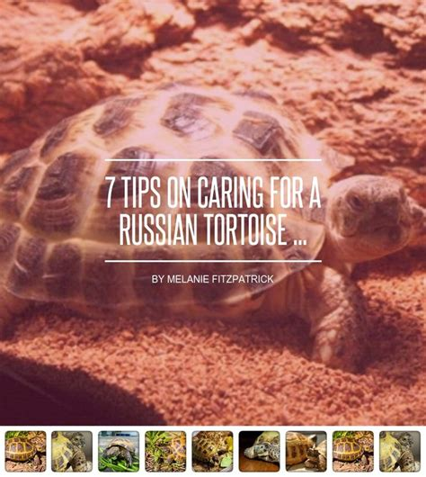 7 Tips On Caring For A Russian Tortoise by Best 25 Russian Tortoise Ideas On Tortoise