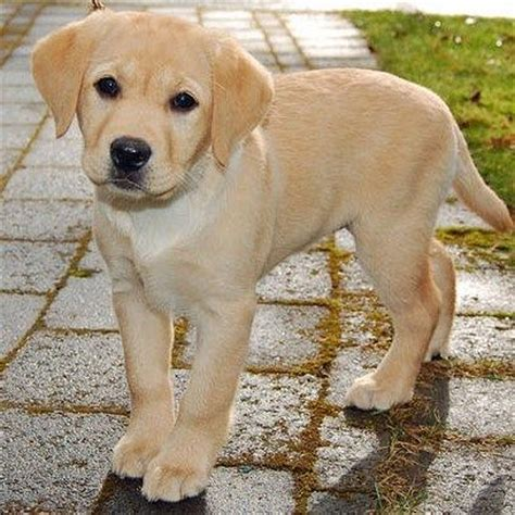 golden lab puppies best 25 yellow lab puppies ideas on lab