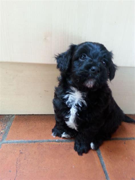 miniature poodle x shih tzu adorable miniature poodle x shih tzu puppies cannock staffordshire pets4homes