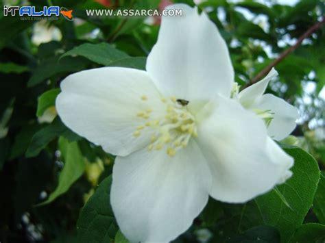 zagara fiore fiore di zagara natura piante ed animali