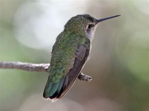 Hummingbird L by Birds Of The World Hummingbirds
