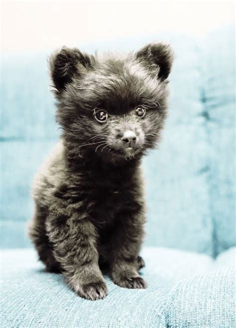puppies that look like bears 15 dogs that look like teddy bears bored panda