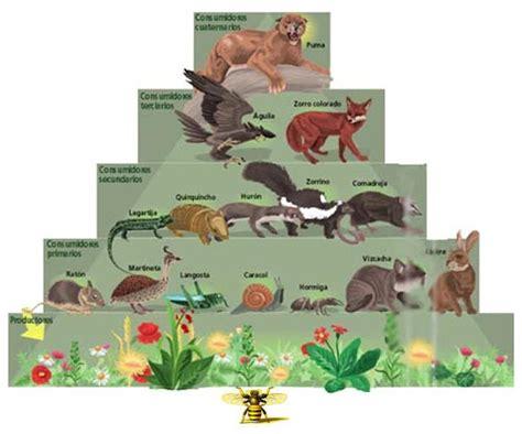 cadena alimenticia sencilla para niños los animales cadena alimenticia