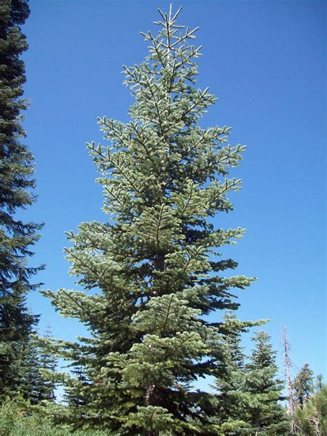 13 best our silvertip fir christmas trees images on pinterest