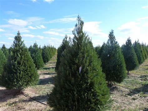 cut your own christmas tree at dewberry farm houston