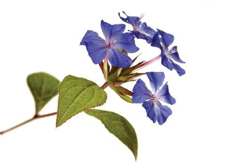 fiori di bach rimedi fiori di bach rimedi per ansia depressione attacchi di