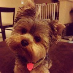 yorkie haircuts with floppy ears haircut pictures for yorkies with floppy ears search results hairstyle galleries