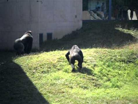 gorilla  chimp  philadelphia zoo youtube