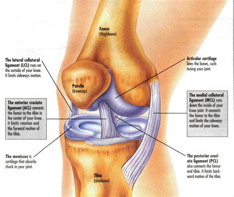 diagram of ligaments in the knee knee ligament diagrams to print diagram site