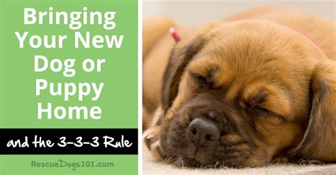 bringing a new home bringing new puppy home 28 images bringing home a new puppy 101 digital bringing