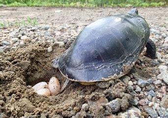 Peliharaan Anakan Kura Kura Baby Turtle 10 fakta menarik tentang penyu dan kura kura turtles