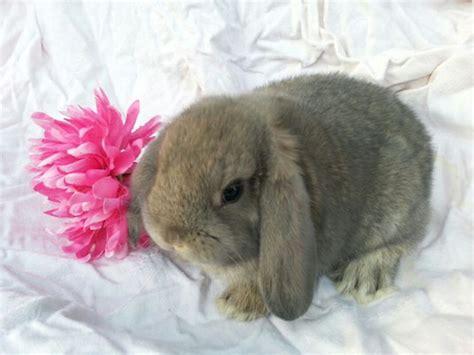 alimentazione forzata coniglio ariete nano la tana coniglio firenze benvenuti a