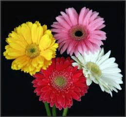 what color are daisies gerbera daisies in four colors jpg