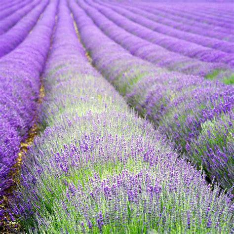 lavender plant hidcote dobies