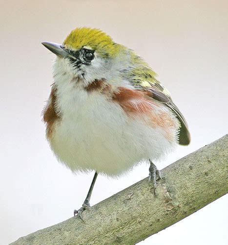 backyard bird identification bird identification north america driverlayer search engine