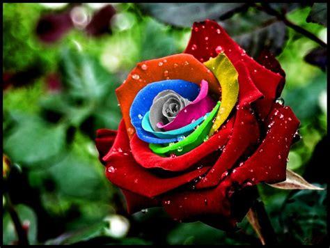 Tuspin Mawar 2 Warna bunga mawar pesona si bunga beda warna beda makna