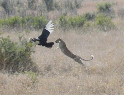Leopard Bird it was leopard vs bird with an unlikely winner