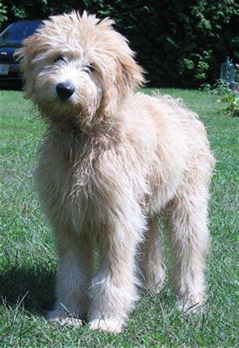 mini goldendoodles upstate ny 17 best images about goldendoodles on coats