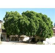 Ficus Microcarpa Nitida