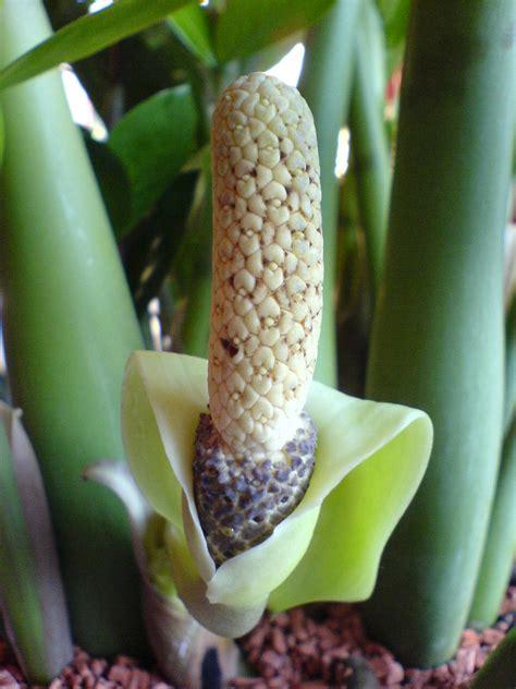 pianta con fiori bianchi tipo calla file zamioculcas zamiifolia bluete2 jpg wikimedia commons
