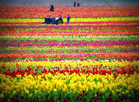 tiptoe through the tulips 35 pics