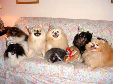 pomeranian birthday pomeranians birthday pomeranian obsession