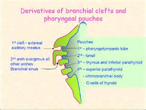 Go back gt gallery for gt branchial pouch derivatives