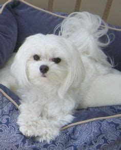 maltese in nc 1000 images about maltese cuties on pinterest maltese