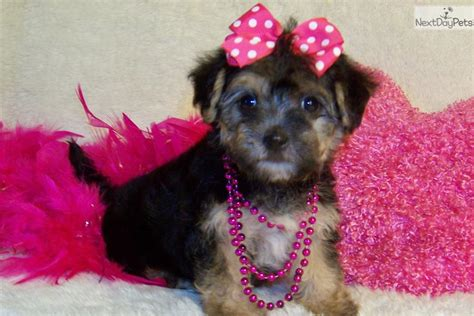 yorkies for sale in st louis mo black yorkie poo puppy breeds picture