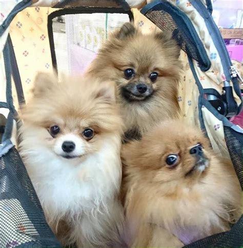 kong the pomeranian pomeranian sale hong kong pomeranian pup buy puppy pomeranian breeders pomeranian