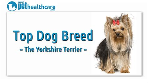 yorkies south africa top breeds in south africa pethealthcare co za