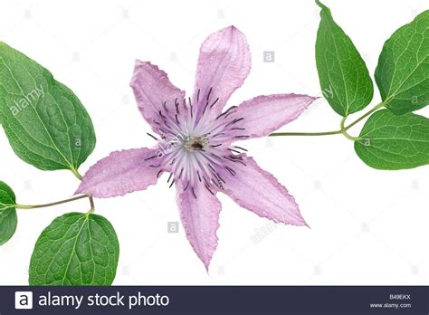 Images Of Clematis Leaves clematis flower and leaves stock photo royalty free image