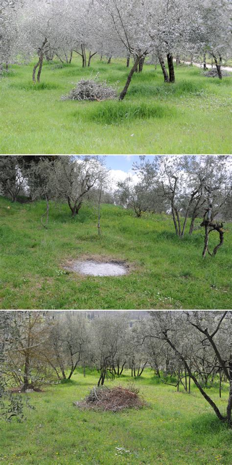Spring Olive Tree Pruning in Tuscany   Photos   Native Food and Wine