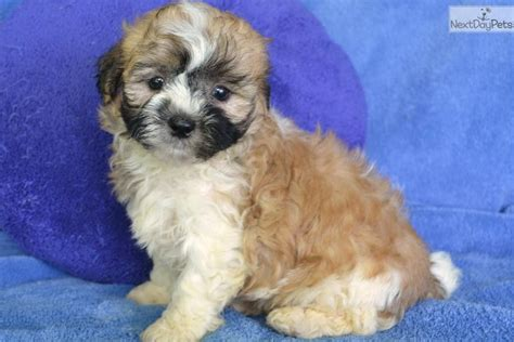 shih poo puppies for sale in missouri 4 shih tzu poodle pups wallpaper