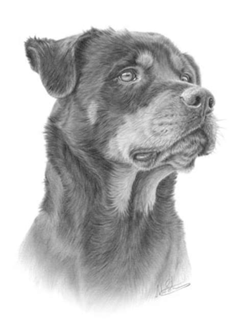 rottweiler drawings rottweiler rottweiler pencil drawing nolon stacey flickr