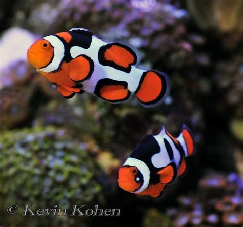colored clown pics for gt different colored clown fish