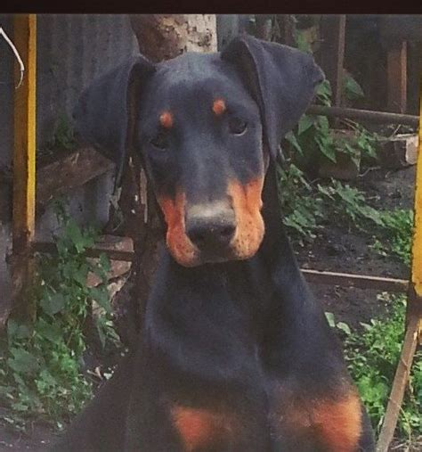 doberman puppies for sale in nj pomsky puppies for sale in nj breeds picture